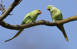 Image - BACALL_Ring-Necked-Parakeets